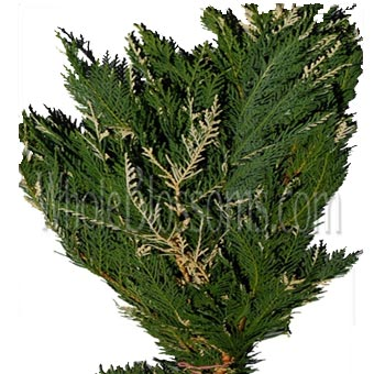 Leyland Cypress Varigated Green Flower Filler