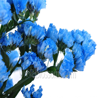 Statice Tinted Light Blue Flower