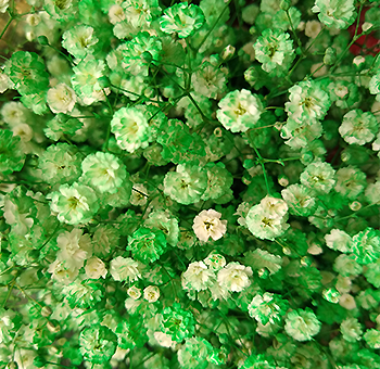 Baby's Breath Green Flowers