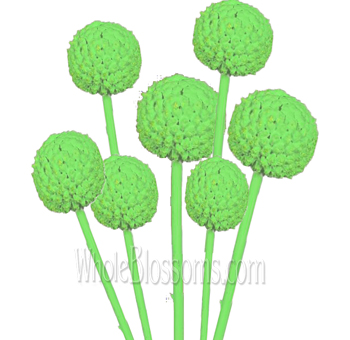 craspedia tinted mint green flowers