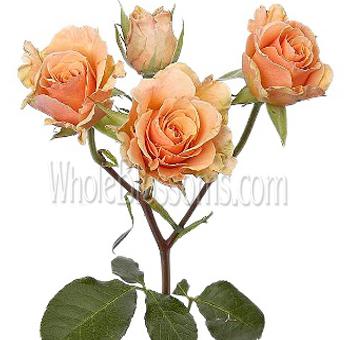 Spray Rose Light Orange Flower Online