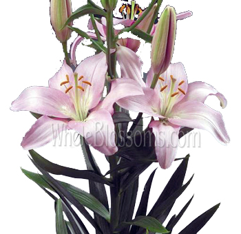 Light Pink Asiatic Lily Flowers