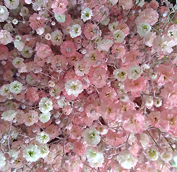 Baby's Breath Light Pink Flowers
