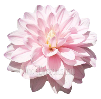 Dahlia Light Pink Flowers with Lavender Cast
