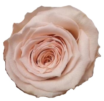 Light Pink Preserved Roses Organic