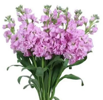 Stock Light Pink Flower
