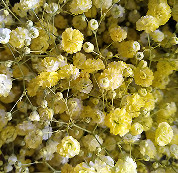 Babys Breath Yellow Flowers