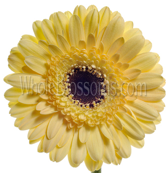 Gerbera Daisy Light Yellow Flower