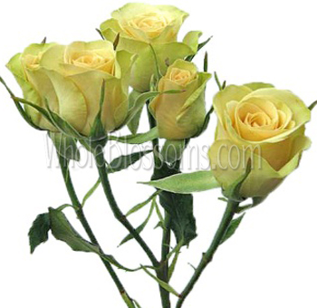 Light Yellow Spray Roses