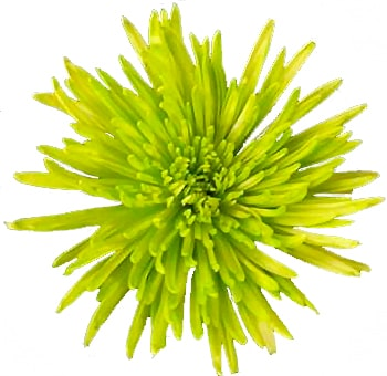 Anastasia Spider Mums Lime Green Flowers