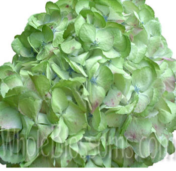lime-green-hydrangea-jumbo-painted