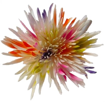 Spider Mums White with Lime Green, Orange, Purple and Hot Pink Sparkles