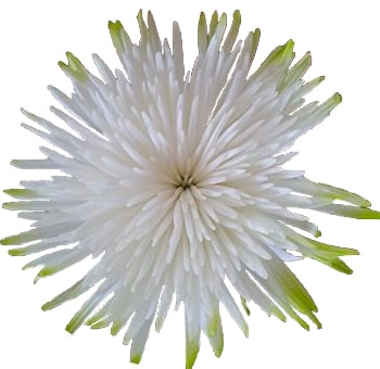 Lime Green Tip  Mum Anastasia Flower