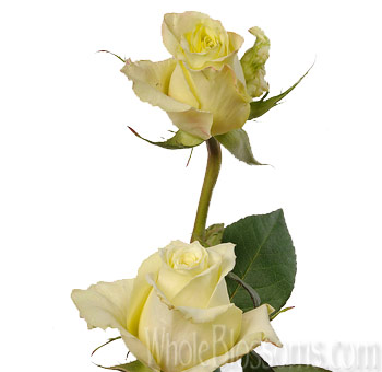 Green Limona Wholesale Roses