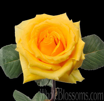 Yellow Organic Rose Lindsey