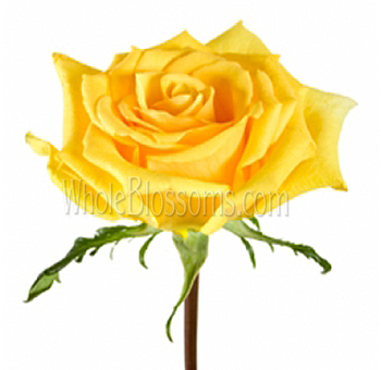 Lindsey Yellow Rose