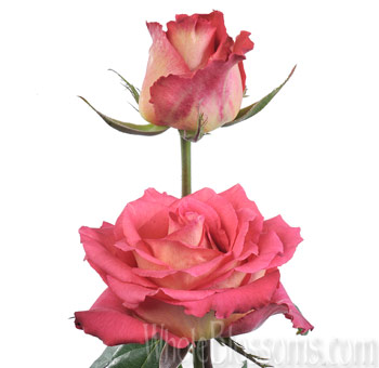 Lipstick Bicolor Orange Rose Flowers