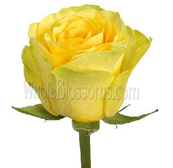 Ilios Yellow Rose Bulk Flowers