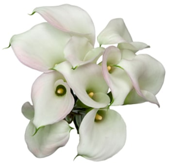 White Pink Calla Lily Long Stem with Lavender Hue
