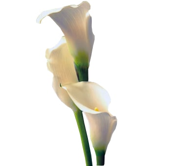 Cream Wedding Mini Calla Lilies Chantilly