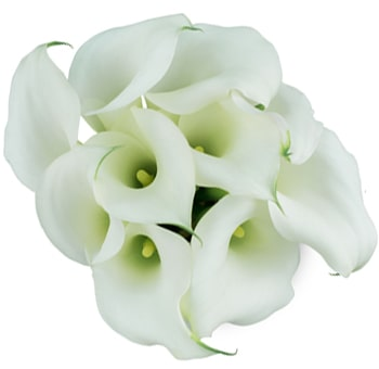 Crystal White Mini Calla Lily Flowers Long Stem