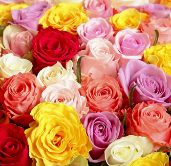 Valentine's Day Roses - Choose Your Colors 100 Stems