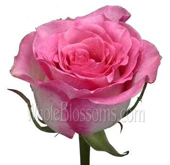 Pink Organic Roses for Valentine's Day