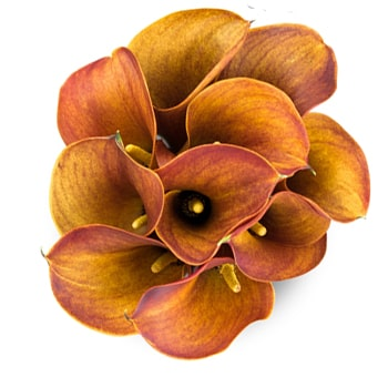 order bulk fresh cut mango calla lilies for wedding