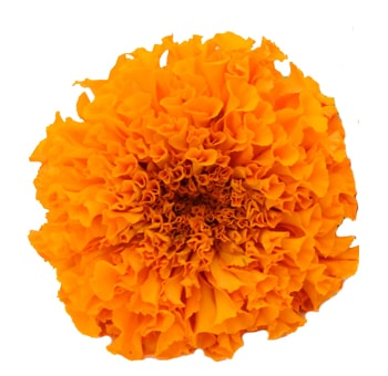 Marigold Orange Flowers
