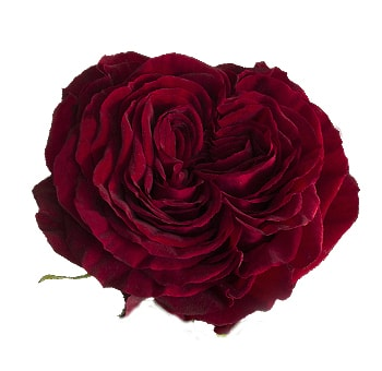 Mayra's Red Garden Roses