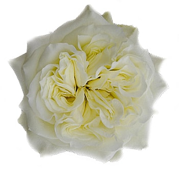 White Garden Rose Mayra