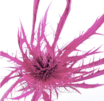 Thistle Eryngium Tinted Medium Pink Flower