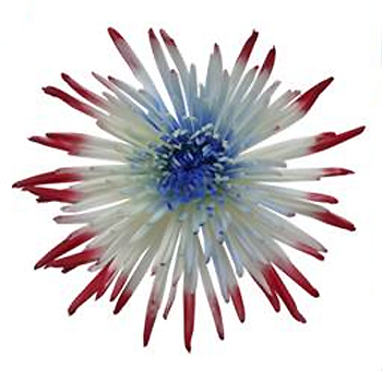 Memorial Day Patriotic Tips Spider Mum