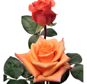 Wholesale Milva Orange Roses