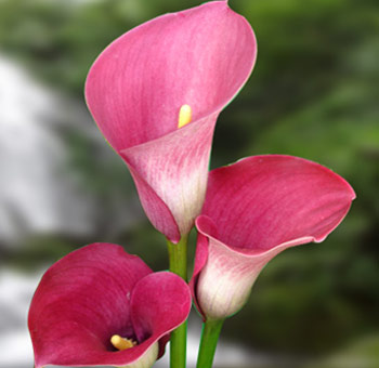 Wholesale Hot Pink Mini Calla Lily