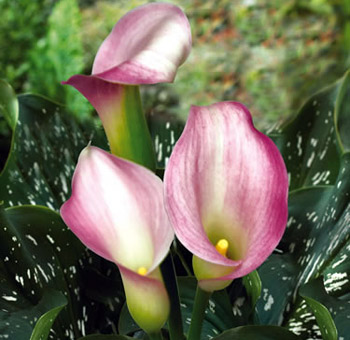 Calla Lily Little Suzy