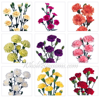 mini carnations assorted - Carnation Flower Colors