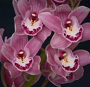 Mini Cymbidium Orchids