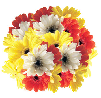 Mini Gerbera Daisy Flowers Assorted