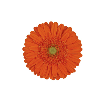 Orange Mini Gerbera Daisies Flower