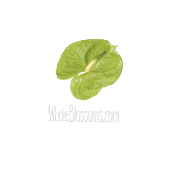Mini Green Anthurium