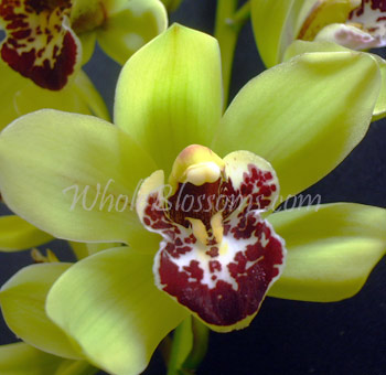 Green Mini Cymbidium Orchid