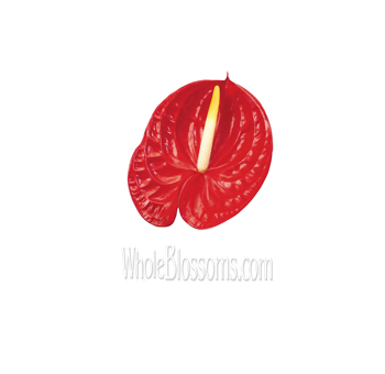 Mini Red Anthurium Flower