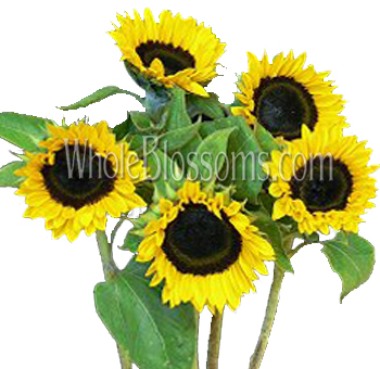 Mini Sunflowers with Dark Center
