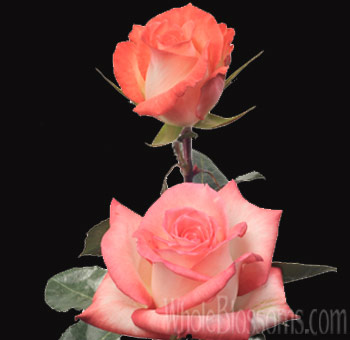 Mirage Creamy Pink Wholesale Roses