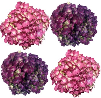 Elite Mix Raspberry Pink & Purple Hydrangea Flower