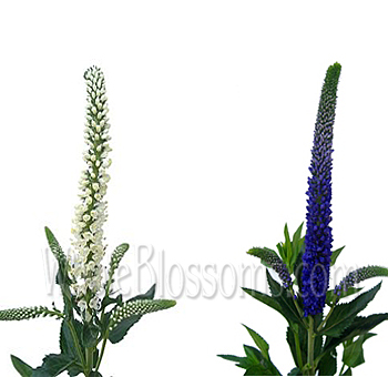 Veronica Purple White Mix
