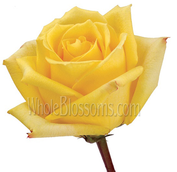 Mohana Yellow Rose