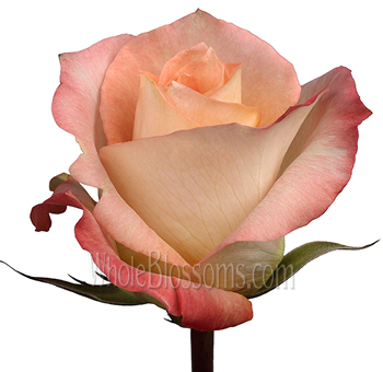 Monina del Bard Orangey Peach Rose
