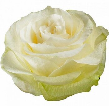Moonstone Organic White Rose